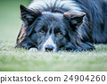 Border Collie dog starring at the camera. 24904260