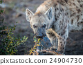 Spotted hyena chewing on meat in the Kruger. 24904730