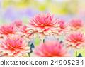 Colorful dahlia flower 24905234