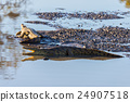 Crocodiles on river bank. Kruger National Park 24907518