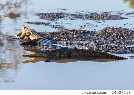 Crocodiles on river bank. Kruger National Park 24907518
