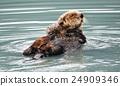 海獭 阿拉斯加 美国 24909346
