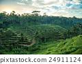 rice, terrace, terraced 24911124