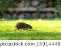 hedgehog 24914440