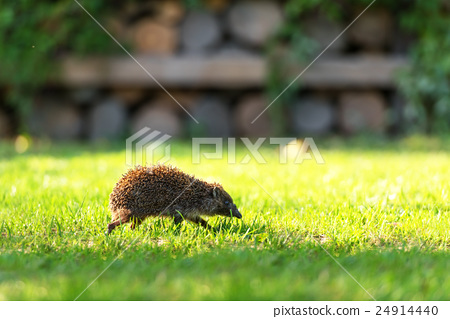 hedgehog 24914440