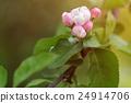 pink, apple, branch 24914706