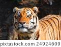 肉食動物 動物 老虎 24924609