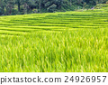 Green Terraced Rice Field in Mae Klang Luang 24926957
