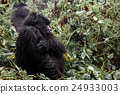 Female mountain gorilla standing in the forest 24933003