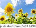 许多向日葵在夏天阳光下 24943490