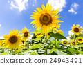 여름의 햇볕을받는 해바라기와 꽃 24943491