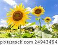 해바라기 꽃의 수풀 24943494