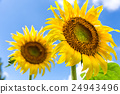 被放大的向日葵花 24943496