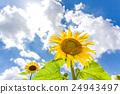 向日葵花大增长 24943497