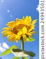 向日葵花和夏天的天空(垂直) 24943501