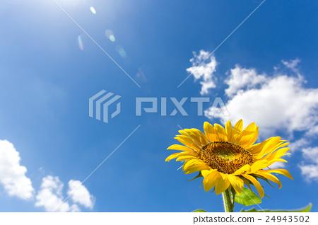 太阳花和夏天天空 24943502