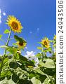 向日葵花大大增长(垂直) 24943506