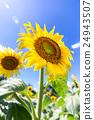 向日葵花和组(垂直) 24943507