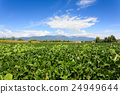 Agriculture, field of soybean 24949644