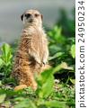 Meerkat 24950234