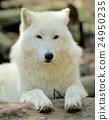 White wolf 24950235