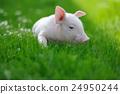 Piglet 24950244