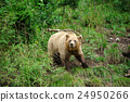 bear, animal, brown 24950266