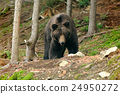 bear, animal, brown 24950272
