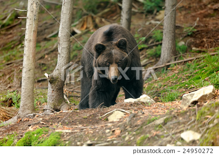 Brown bear (Ursus arctos) in nature 24950272