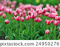 Tulips in spring field 24950276
