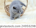Little kitten sitting in the basket 24950298