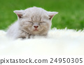 Kitten on white blanket 24950305