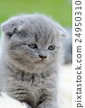 Close gray kitten portrait 24950310