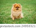 Brown pomeranian dog 24950321