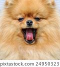 Brown pomeranian dog 24950323
