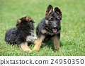 Baby German Shepherd 24950350
