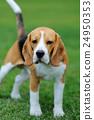 Close Beagle dog 24950353