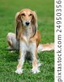 Borzoi dog in grass 24950356