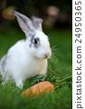 Rabbit 24950365