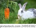 Rabbit 24950382