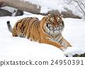 Tiger 24950391
