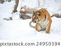 Tiger 24950394