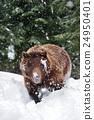 animal, animals, bear 24950401
