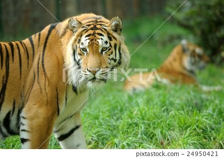 Tiger 24950421