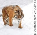 Tiger 24950433