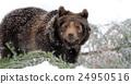 Bear in winter forest 24950516