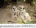Meerkat 24950521