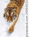 Beautiful wild siberian tiger on snow 24950525
