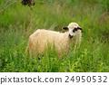 動物 羊 綿羊 24950532