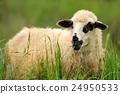羊 綿羊 羊羔 24950533